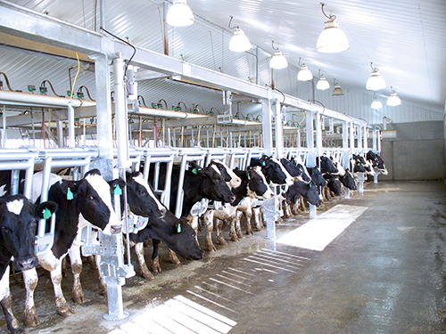 Air-Regulated Individual Cow Indexing Stalls - With Cattle